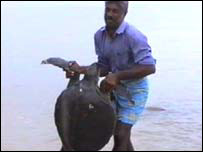 A turtle caught by a fishermen (photo: Dinasena Ratugamage)