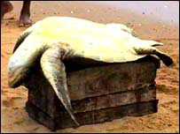 A turtle ready for slaughter (photo: Dinasena Ratugamage)