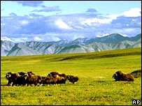 A herd of musk ox graze in an area of the Arctic National Wildlife Refuge in Alaska