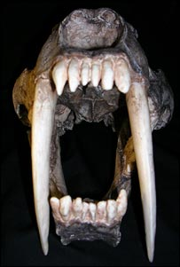 Sabre tooth (Wroe)