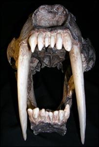 Sabre tooth (Wroe)