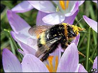 A bumble bee on a crocus