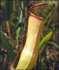 Pitcher plant Nepenthes khasiana