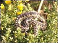 Adder (picture by the Herpetological Conservation Trust)