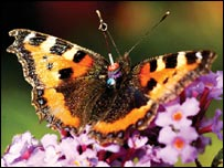 Small tortoiseshell butterfly, Royal Society