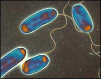 Legionella bacteria under the microscope