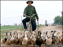 A farmer rides his bike while leading is ducks in Thai Bing, 09 March 2005.