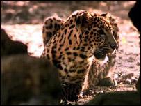 Leopard, AP
