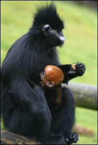 Newborns are bright orange but their coats turn black