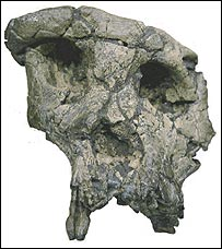Skull of Toumai (Nature)