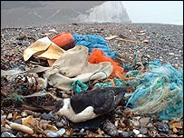 Razorbill killed by marine pollution
