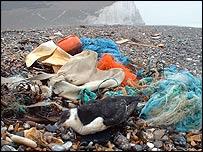 Razorbill killed by marine pollution