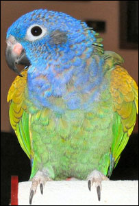 Blue Headed Pionus (Pionus menstruus) �www.parrotsandparakeets.com