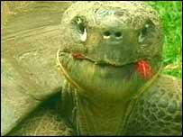 Harriet the giant tortoise