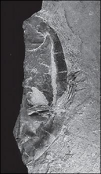 Araripemys arturi, Palaeontology