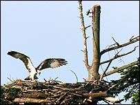 Osprey nest, RSPB Glaslyn Osprey Project at Pont Croesor near Porthmadog