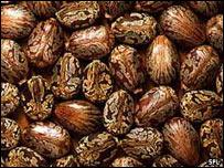 Castor oil beans