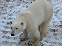 A polar bear (BBC)