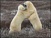 Two bears fighting (BBC)