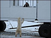 Bear stands against buggy (BBC)