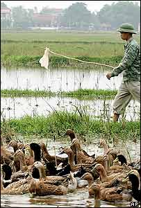 Duck farmer in Vietnam