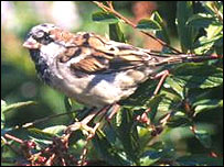 a sparrow