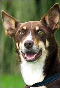 Meg the kelpie, or Australian sheepdog