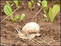 Bosnian snail