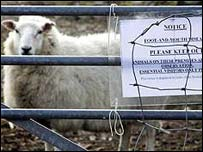 Sheep with foot-and-mouth sign