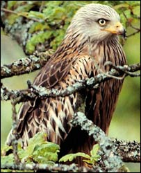 Red Kite, photographed by Chris Gomersall for rspb-images.com