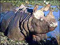 Nepal one-horned rhino