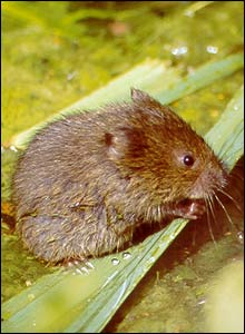 Water vole  - courtesy of Clare Bowen/MTUK