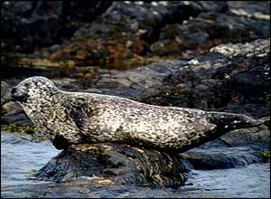 Common Seal - courtesy of Graham Bellenger/MTUK