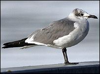 Laughing gull, picture courtesy of Lyndon Lomax