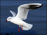 Black-headed gull, picture courtesy of Lyndon Lomax