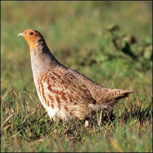 Red grouse - photographed by Chris Gomersall for rspb-images.com