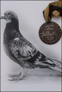 The pigeon Commando, with his gallantry medal - 32 were awarded to pigeons