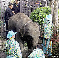 Trainers try to calm an elephant who escaped from a zoo in north-eastern Seoul, 20 April 2005