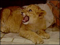 Ramzan Kadyrov's lion cub