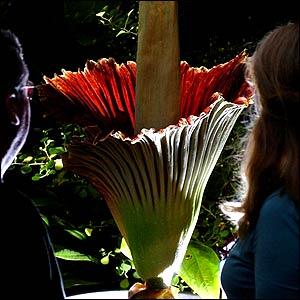 Onlookers enjoy the titan's flower - from a distance