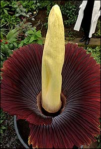 The Amorphophallus Titanium