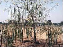 Drumstick trees