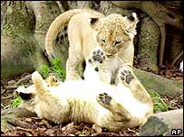 Lion cubs play in a zoo
