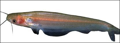 Ompok Platyrhynchus catfish (Tan Heok Hui/WWF-Indonesia)