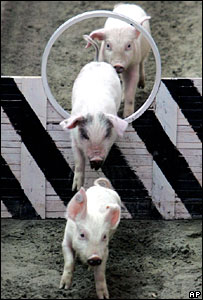 Pigs jumping through hoops