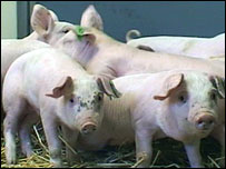 Pigs who were studied