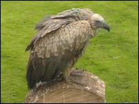 Gollum the vulture