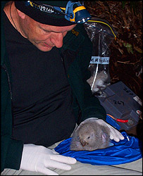 A kakapo chick gets special treatment, Kim Griggs