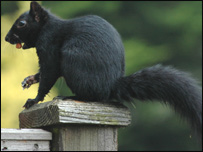 Black squirrel (archive)