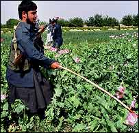 Police destroying poppies near Kandahar last week